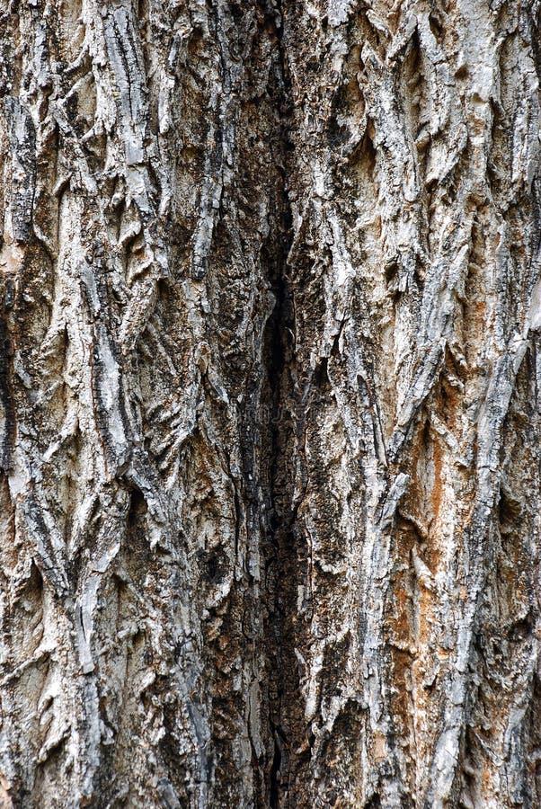 Textura da árvore (casca) fotos de stock royalty free