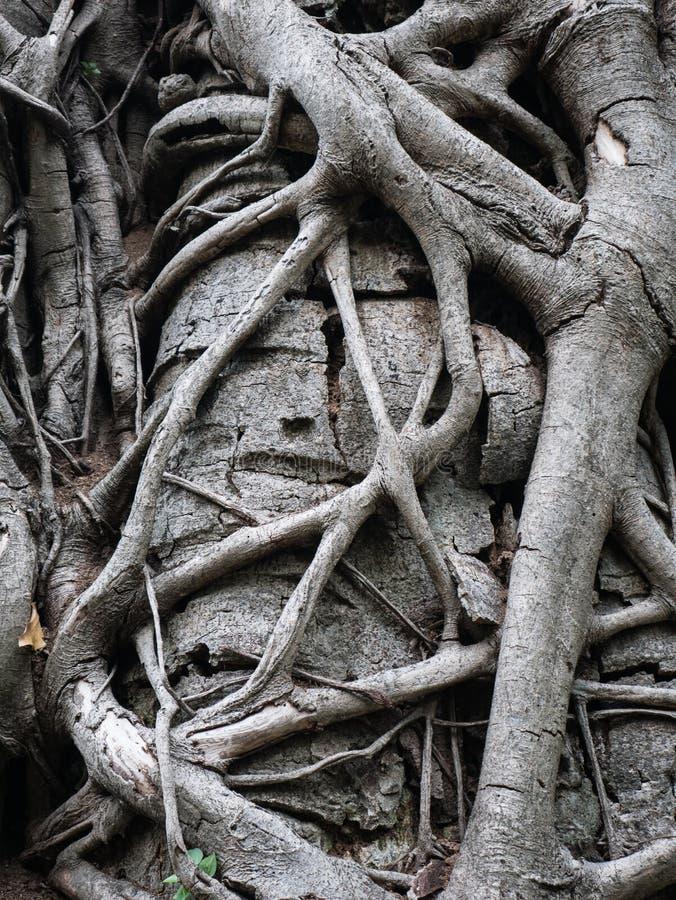 Textura da árvore gigante velha do formulário da raiz imagem de stock royalty free