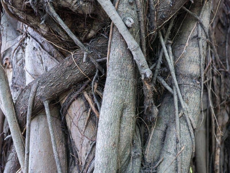 Textura da árvore gigante velha do formulário da raiz fotos de stock