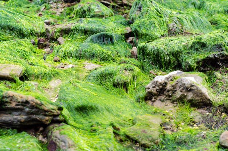 Textura da alga em pedras foto de stock royalty free