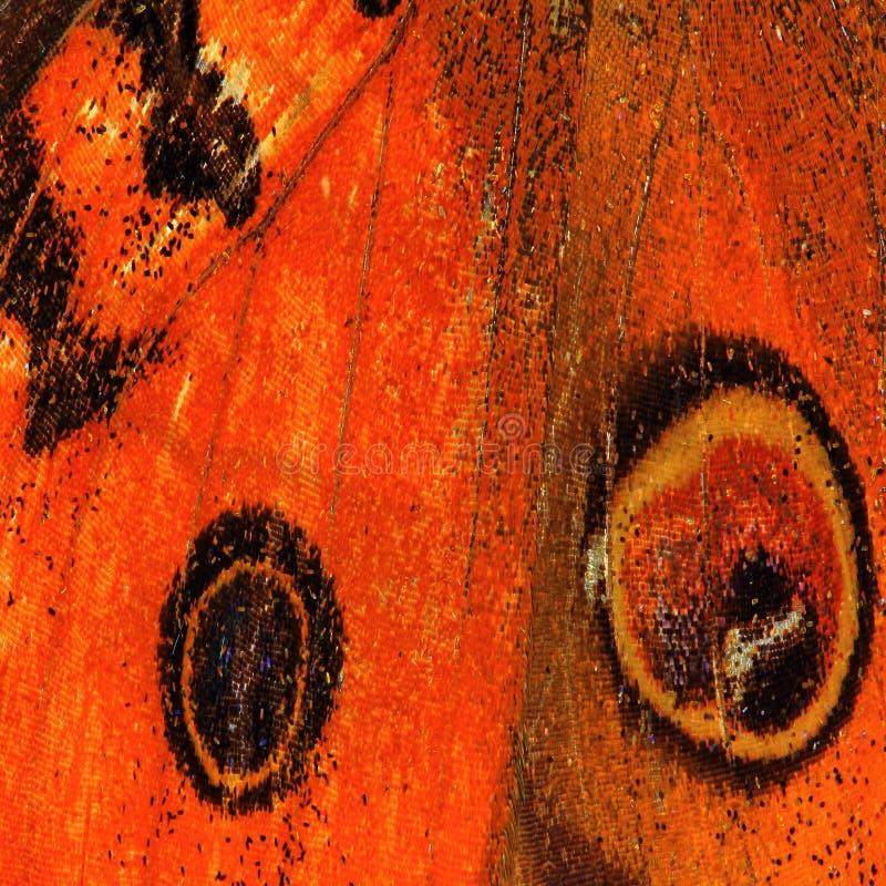 Textura da asa da borboleta foto de stock