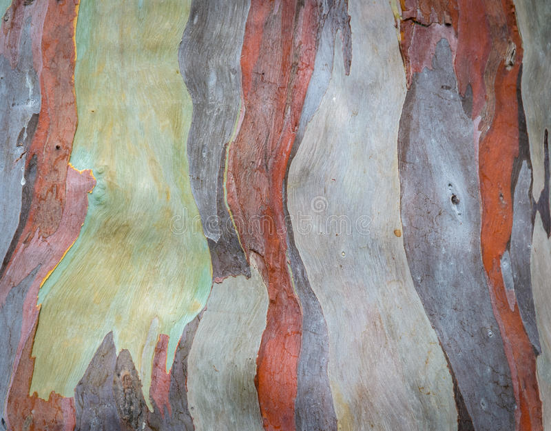 Textura da casca de árvore do eucalipto fotografia de stock