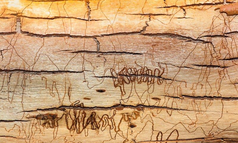 Textura da casca de árvore do garrancho foto de stock royalty free