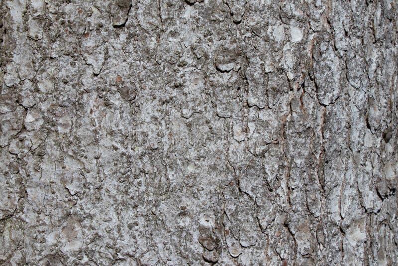 A textura da casca de árvore do Picea abies ou abeto vermelho europeu com teste padrão áspero bonito imagem de stock royalty free