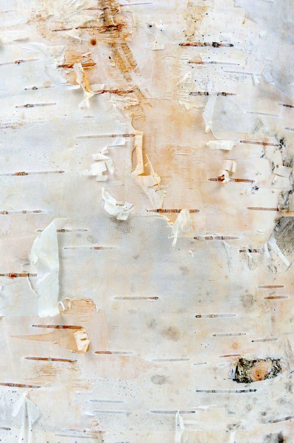 Textura da casca de árvore do vidoeiro branco foto de stock royalty free