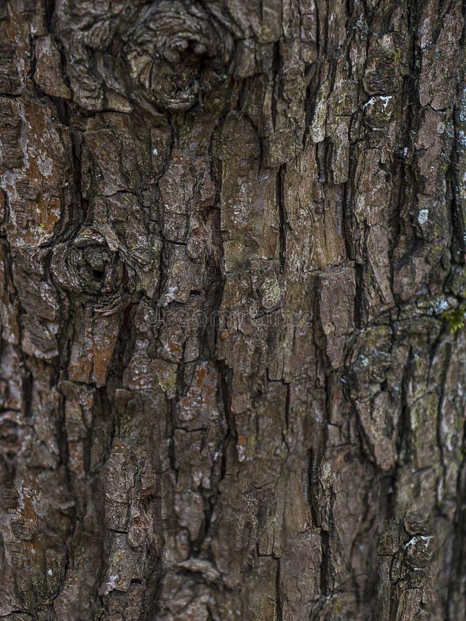Textura da casca de árvore Fundo da casca do carvalho velho foto de stock