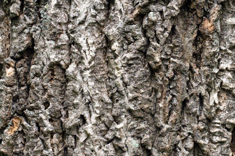 Textura da casca de madeira natural no fim acima foto de stock royalty free