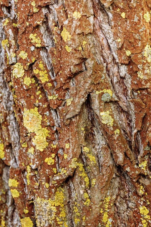 Textura da casca de ?rvore Fundo da madeira da natureza Fundo da casca de ?rvore com musgo fotografia de stock royalty free