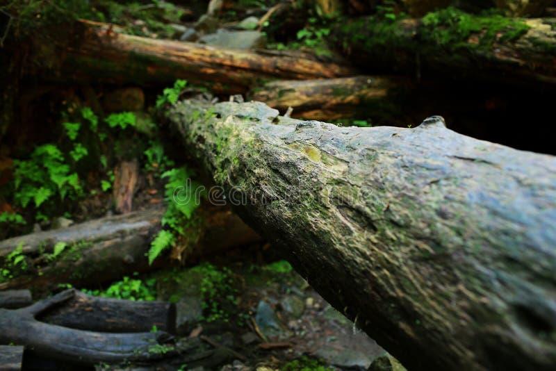 Textura da casca de ?rvore Fundo da madeira da natureza Fundo da casca de ?rvore com musgo imagens de stock