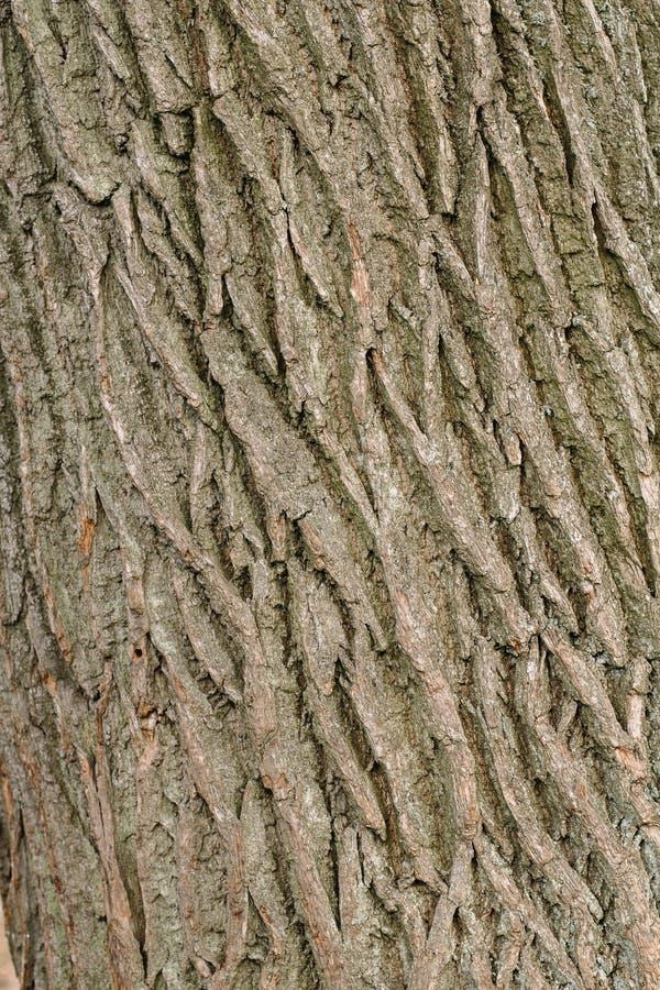 A textura da casca de uma ?rvore velha levemente coberto de vegeta??o com o musgo fotos de stock