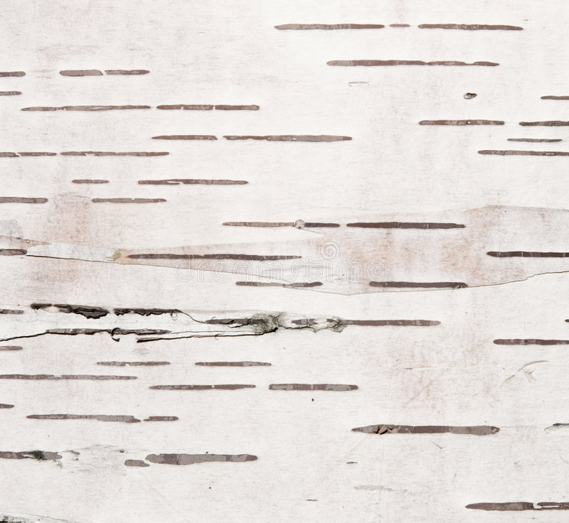 Textura da casca de vidoeiro fotografia de stock royalty free