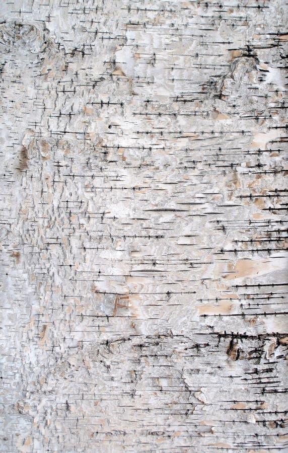 Textura da casca de vidoeiro imagens de stock royalty free