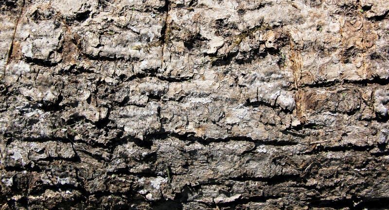 Textura da casca do carvalho foto de stock royalty free