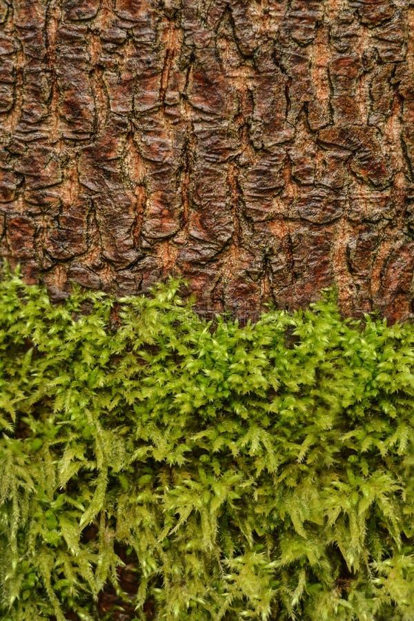 Textura da casca do musgo e de árvore imagens de stock