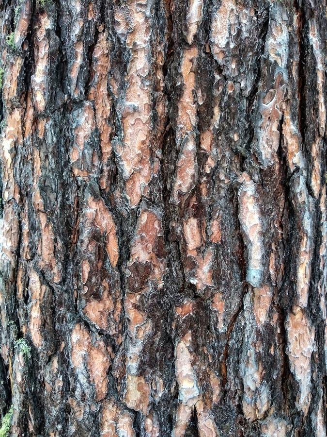 Textura da casca do pinheiral fotos de stock royalty free