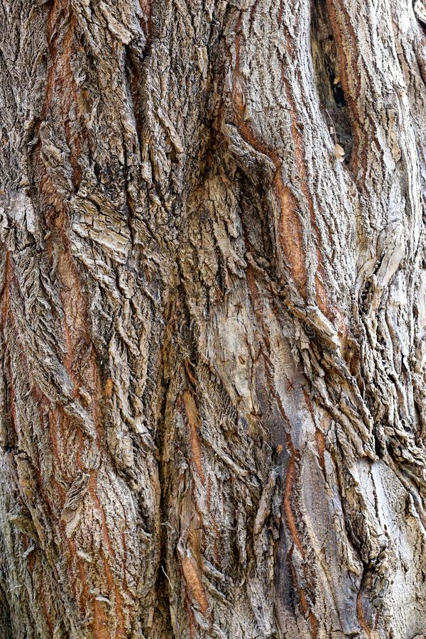 A textura da casca do tronco do cipreste imagem de stock royalty free