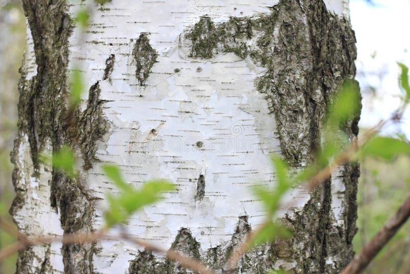 A textura da casca do tronco de árvore do vidoeiro no close up do bosque do vidoeiro imagens de stock