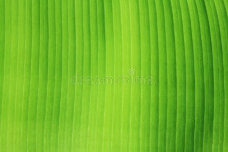 Textura da folha da banana. imagens de stock