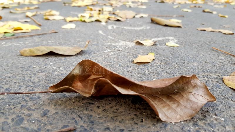 Textura da folha secada da árvore de noz imagem de stock