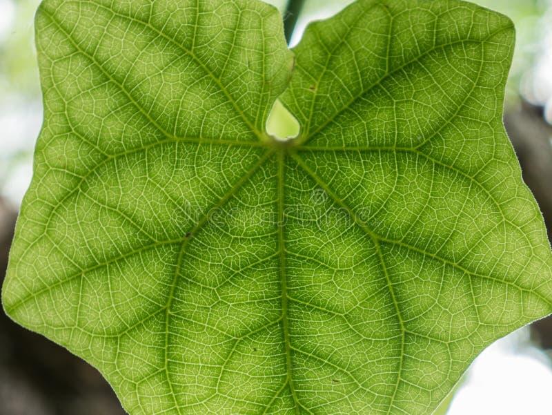 Textura da folha verde fotografia de stock royalty free