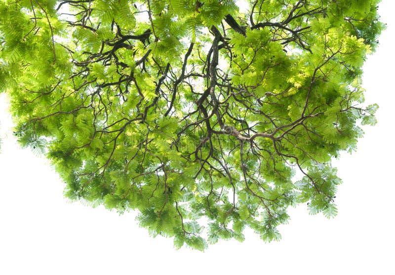 Textura da folha verde no fundo branco fotografia de stock