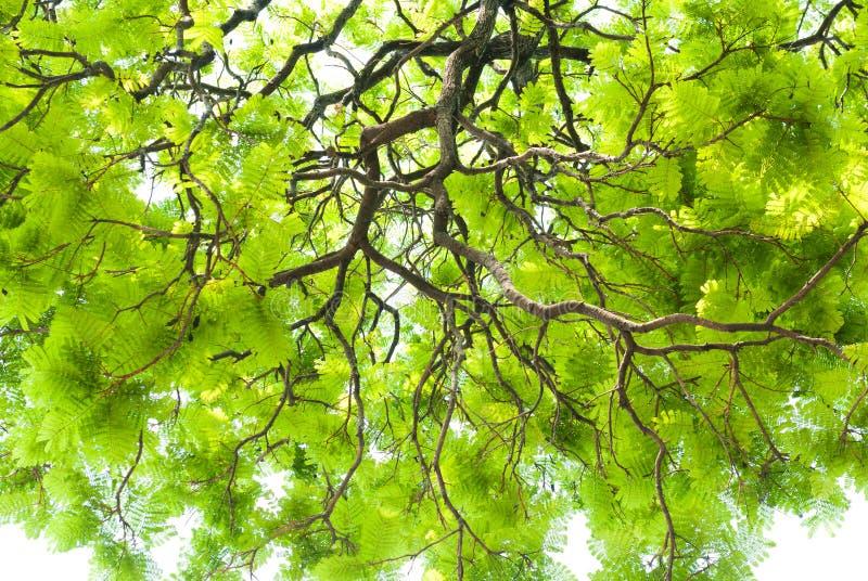 Textura da folha verde no fundo branco fotos de stock