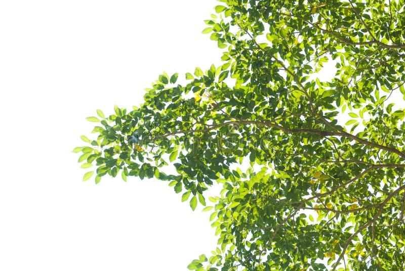 Textura da folha verde no fundo branco imagens de stock