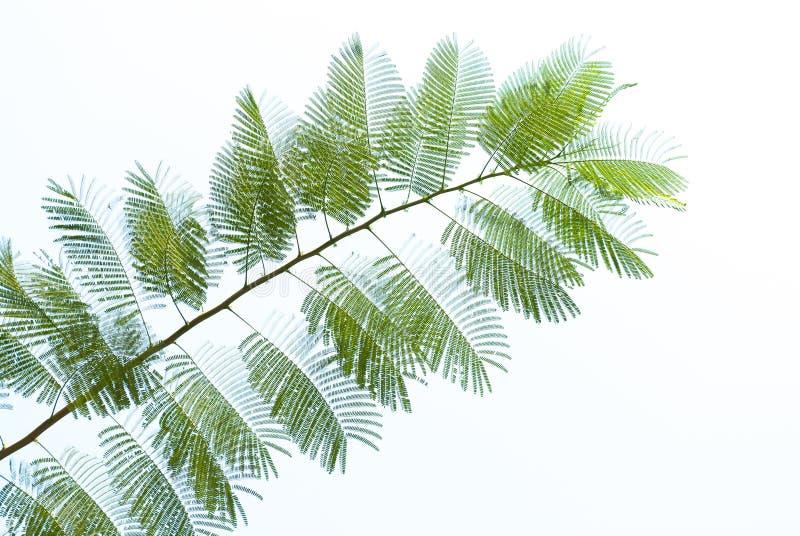 Textura da folha verde no fundo branco foto de stock