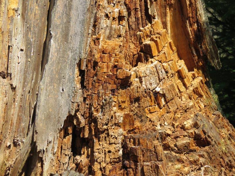 Textura da madeira dentro de um coto velho fotos de stock royalty free