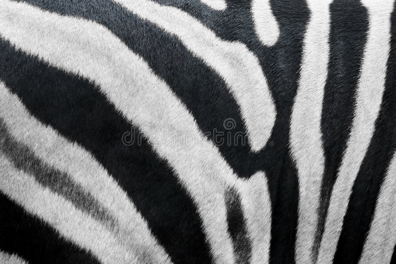 Textura da pele da zebra fotos de stock royalty free