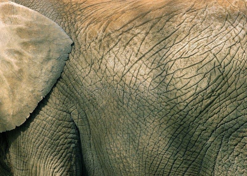 Textura Da Pele Do Elefante Fotografia de Stock Royalty Free