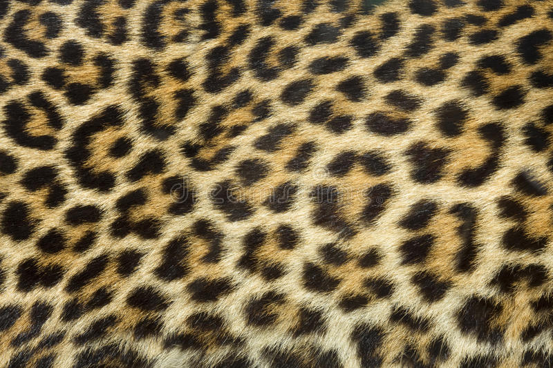 Textura da pele do leopardo