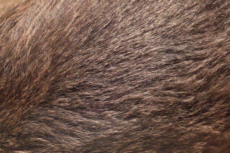 Textura da pele do urso de Brown (arctos do Ursus) imagem de stock