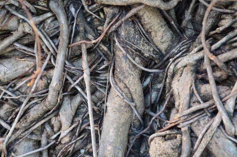 Textura da raiz da árvore foto de stock royalty free