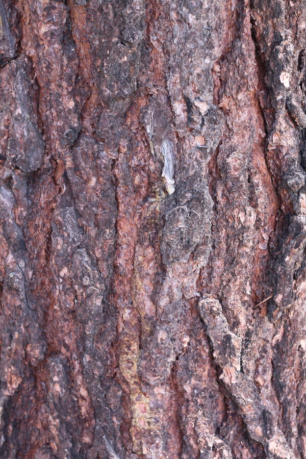 Textura das cascas de árvore foto de stock royalty free