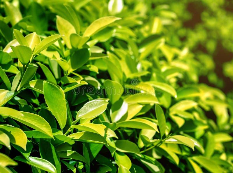 Textura das folhas de chá verde fotografia de stock