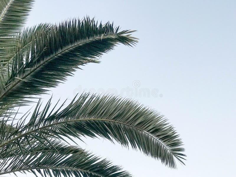 Textura das grandes folhas do sul tropicais do verde, dos ramos de palmeiras abandonadas contra o céu azul e do espaço da cópia foto de stock royalty free