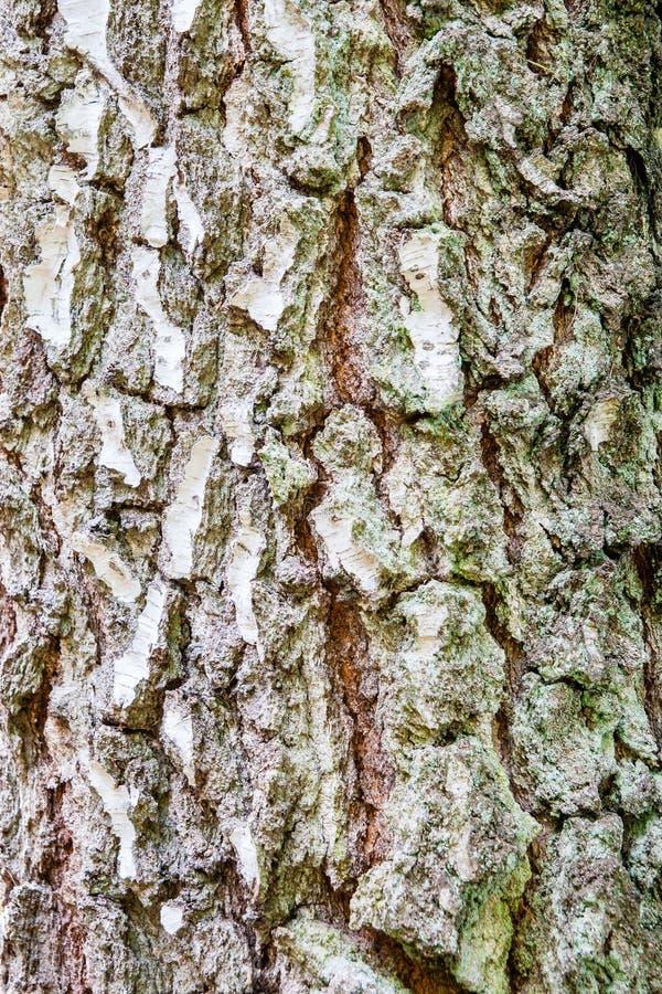 Textura de alta resolución de la corteza de árbol de abedul imagenes de archivo