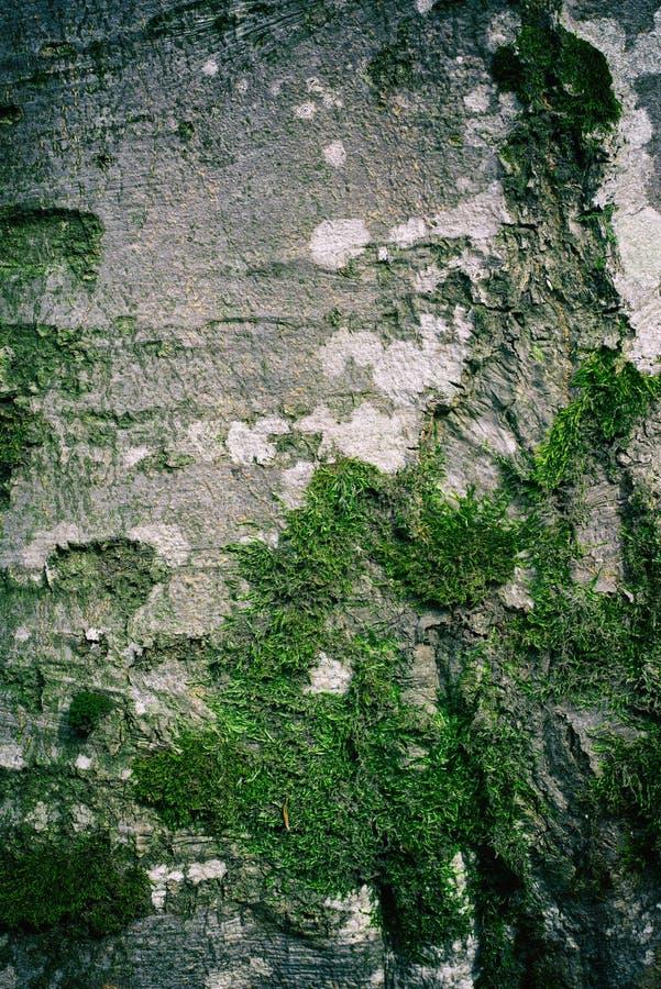 Textura de casca de faia com musgo verde nas raízes fotos de stock
