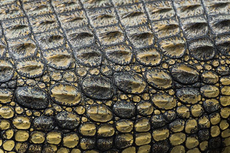 Textura de Crocodilo Skin - Uganda, África imagem de stock