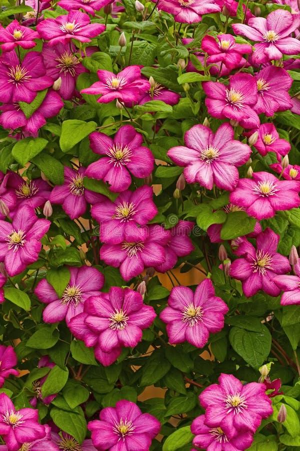Textura de flores do clematis imagens de stock royalty free