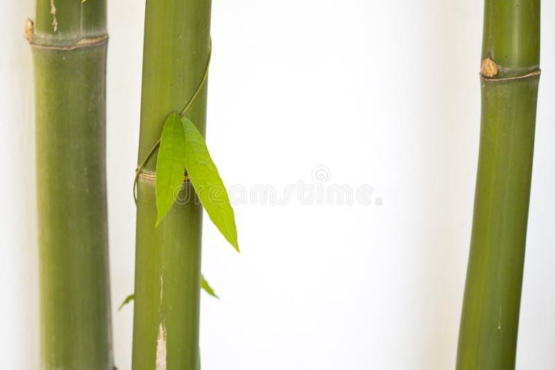 Textura de fundo natureza bambu com flora foliar herbal do estilo cartão postal de decoração da ásia fotografia de stock royalty free