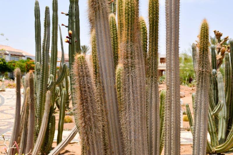 Textura de grandes cactos frescos afiados espinhosos mexicanos longos verdes altos com os espinhos no deserto O fundo fotografia de stock