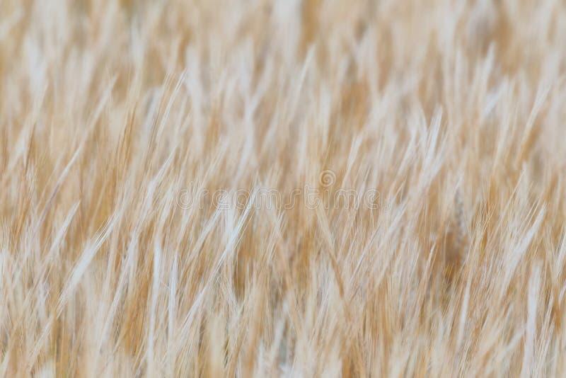 Textura de la cebada un detalle foto de archivo