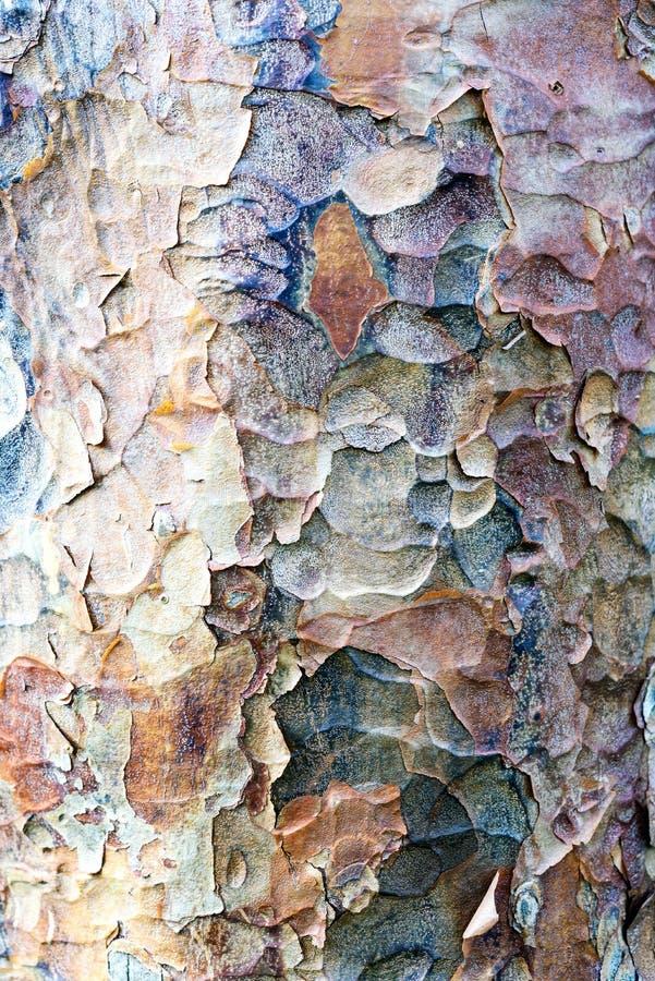 Textura de la corteza de árbol de avión de Londres foto de archivo libre de regalías