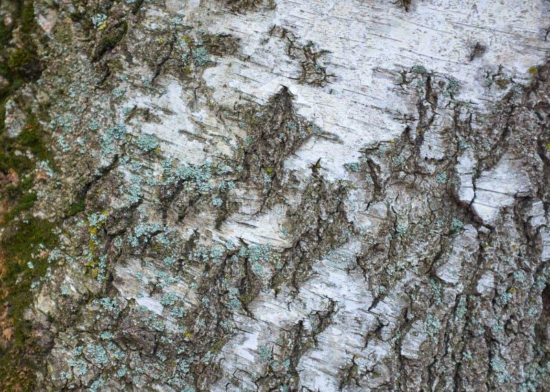 Textura de la corteza de árbol en un árbol de abedul blanco imagen de archivo libre de regalías