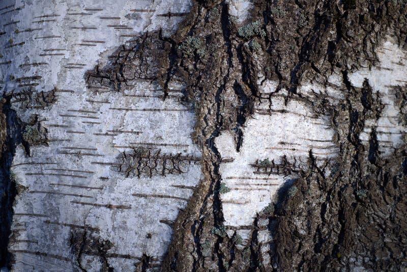 Textura de la corteza de árbol en un árbol de abedul blanco fotos de archivo libres de regalías