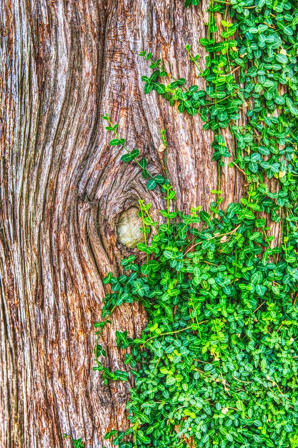 Textura de la corteza de árbol y verde Moss Vine Plant del arrastramiento fotografía de archivo