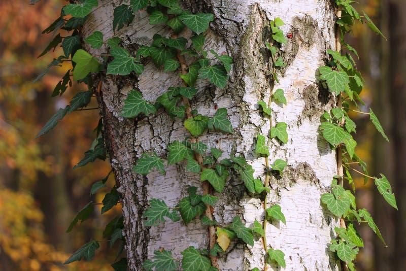 Textura de la corteza con las hojas de la hiedra foto de archivo