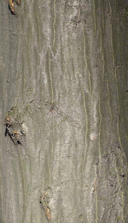 Textura de la corteza de árbol de haya imagenes de archivo